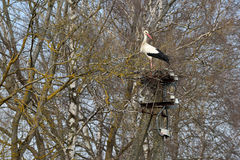 Stork in the nest. Lithuania, East Europe Royalty Free Stock Photo