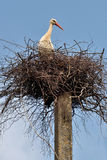 Stork in the nest. Lithuania, East Europe Royalty Free Stock Photography
