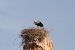 Stork in nest in Marrakech Stock Image