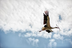 Stork with nest material Stock Photos