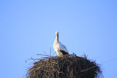 Stork in nest Royalty Free Stock Photography