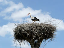 Stork. In a nest near a rural yard. Countryside, Ukraine Stock Image