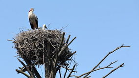 Stork in a nest on the old tree against the sky stock footage