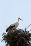 Stork in the nest Stock Image