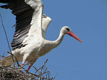 Stork in the nest. Preparing to fly. A beautiful stork on a blue sky background. Spring, May, Ukraine Stock Photo
