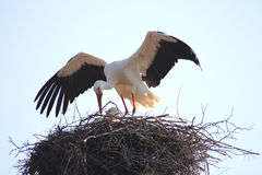 Stork in a nest. With spread feathers Stock Images