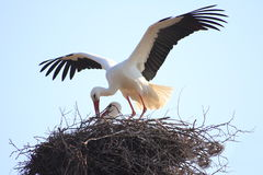 Stork in a nest. With spread feathers Stock Photo