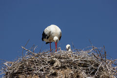 Stork on the nest. A stork standing in its nest, blue sky in the background Stock Images