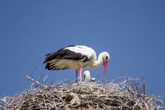 Stork on the nest Royalty Free Stock Photo