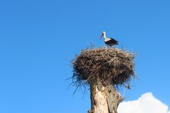 Stork in the nest in the summer Royalty Free Stock Image