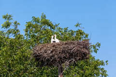 Stork in nest surrounded by green trees Royalty Free Stock Images