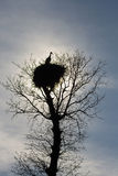 Stork nest on top of an oak Royalty Free Stock Image