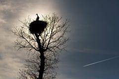 Stork nest on top of an oak Stock Photos