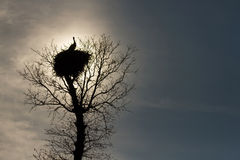 Stork nest on top of an oak Stock Image