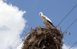 Stork - RAW format Royalty Free Stock Photography