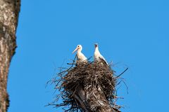 Stork nest with storks in a tree crown with blue sky background stock photo