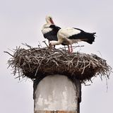 Stork on nest Stock Photography
