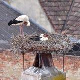 Stork on nest Royalty Free Stock Photo