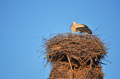 A stork in the nest. Stock Photos