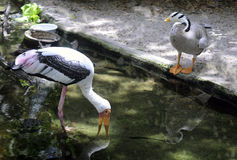 Stork och gås royaltyfri bild