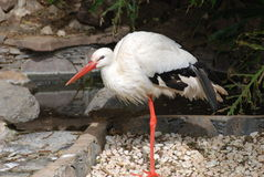 Stork On One Leg Royalty Free Stock Image