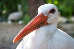 Stork. One white stork stay in front royalty free stock photos