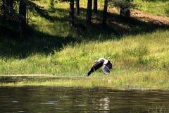 Stork over lake Stock Photos