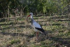 Stork på äng Royaltyfri Fotografi