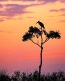 Stork på akaciaträd i Afrika på soluppgång Arkivfoto