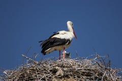 Stork på bygga bo Arkivbild