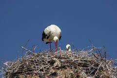 Stork på bygga bo Arkivbilder