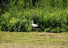 Stork på en våräng, ciconiaciconia Royaltyfri Bild