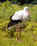 Stork på fältet Sommar Arkivfoto