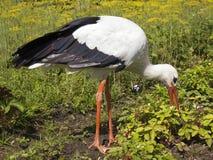 Stork på fältet Sommar Fotografering för Bildbyråer