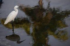 Stork på sjön Arkivfoto