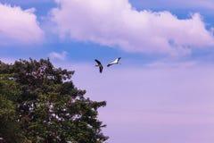 Stork Pair Stock Photos