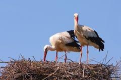 Storks Royalty Free Stock Photo