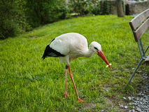 Stork in park with French fries Royalty Free Stock Photo