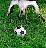 Stork, Phra football. Royalty Free Stock Image