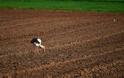 A stork on a ploughed field royalty free stock image