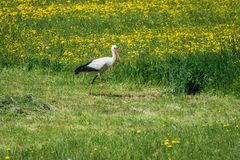 Stork in Poland Royalty Free Stock Images