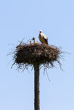 Stork on a pole nest Royalty Free Stock Photo