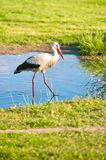 Stork in a pond at meadow Stock Photography