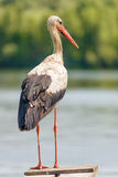Stork on the Pontoon Stock Images