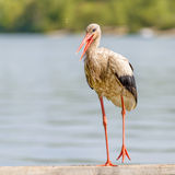 Stork on the Pontoon Stock Photo