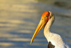 Stork portrait Stock Photography