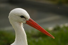 Stork portrait Royalty Free Stock Photo