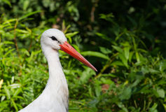 Stork portrait Stock Photo