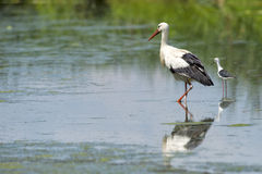 Stork portrait while reflecting on swamp water Stock Photography