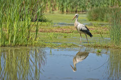 Stork portrait while reflecting on swamp water Stock Images